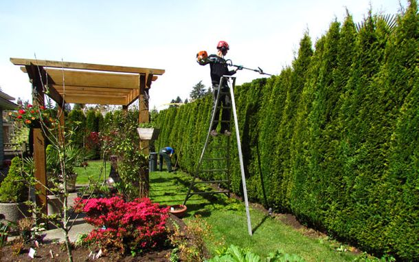 Man on ladder pruning hedges